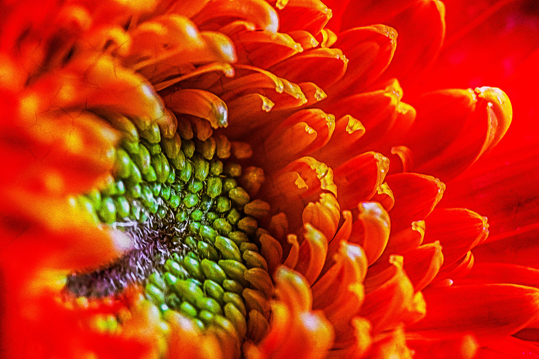 Bright Orange Gerber Daisy Flower #3