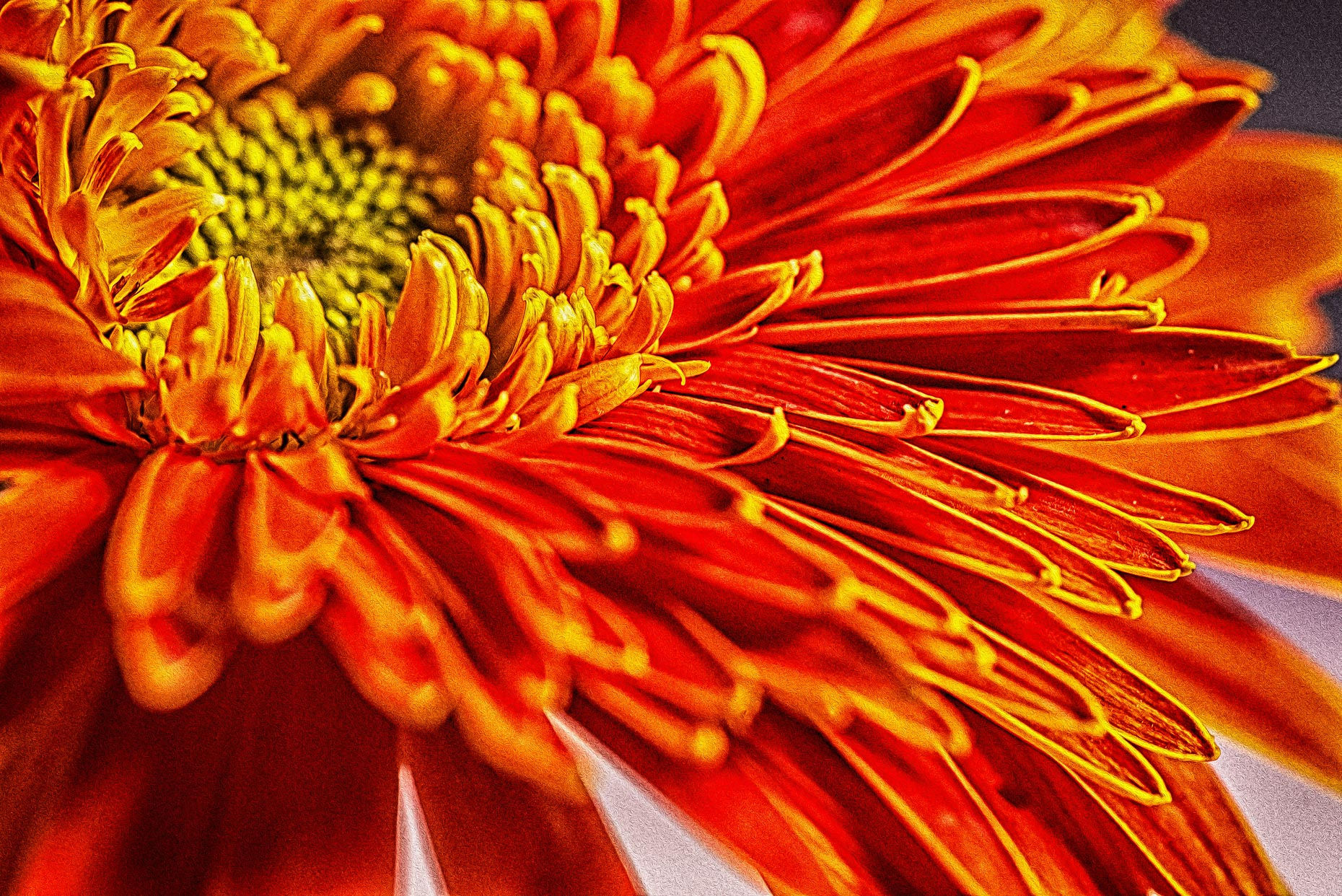 Bright Orange Gerber Daisy Flower #2