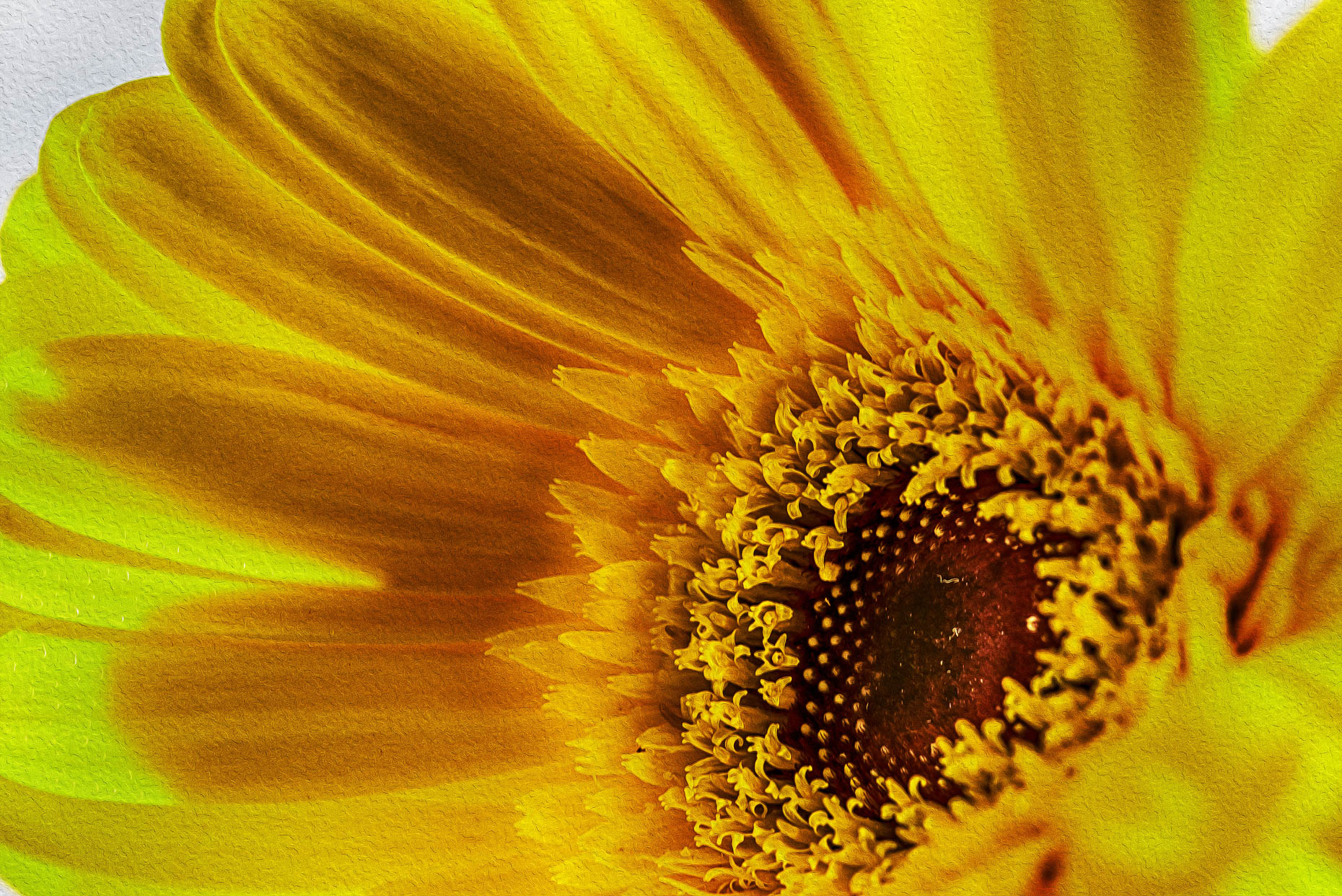 Bright Yellow Gerber Daisy